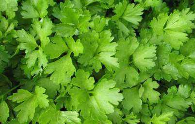 Herb Garden Essentials: Grow Your Own Parsley