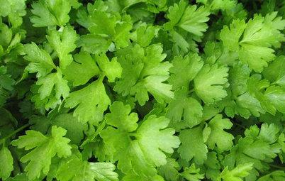 Herb Garden Essentials: Grow Your Own Parsley