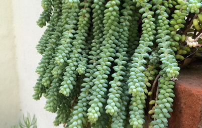 Grow Donkey Tail Succulent, a High-Impact, Low-Maintenance Plant