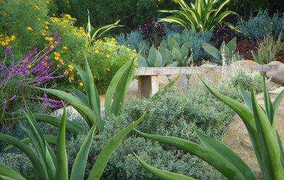 Great Design Plant: Agave Vilmoriniana