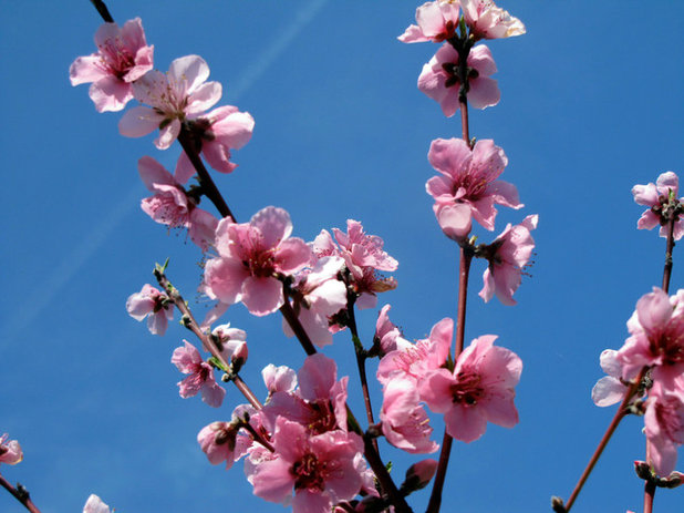 Landscape Peach blossoms in spring