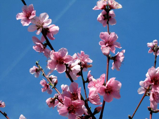 Landscape Peach blossoms in spring