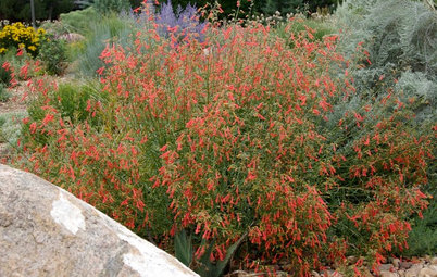 Great Design Plants: Penstemon Rostriflorus