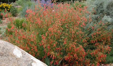 Great Design Plants: Penstemon Rostriflorus