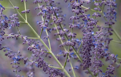 Great Design Plant: Russian Sage