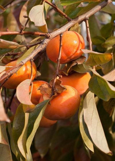 Классический Сад Persimmon Tree