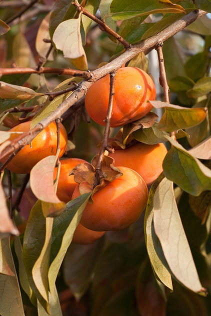 traditional landscape Persimmon Tree