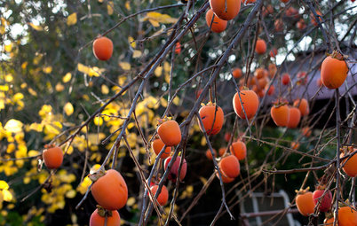 Great Design Plant: Persimmon