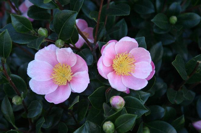 Monrovia Camellia Information