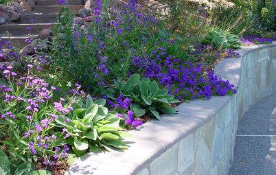 Great Design Plant: Glandularia Rigida Paints the Ground Purple