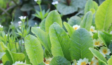 Растение месяца: Примула