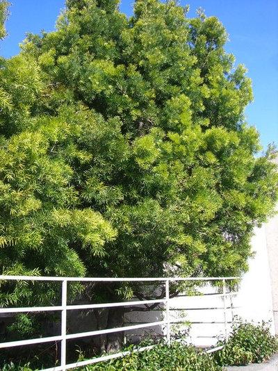 Landscape Podocarpus Gracilior