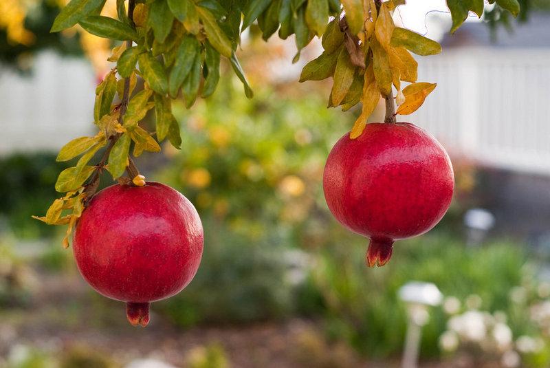 traditional landscape Pomegranate Tree
