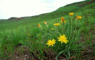 Nothocalais Cuspidata Isn't That Kind of Dandelion