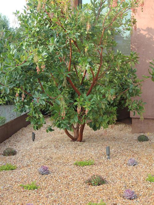 arbutus marina strawberry tree - photo #5