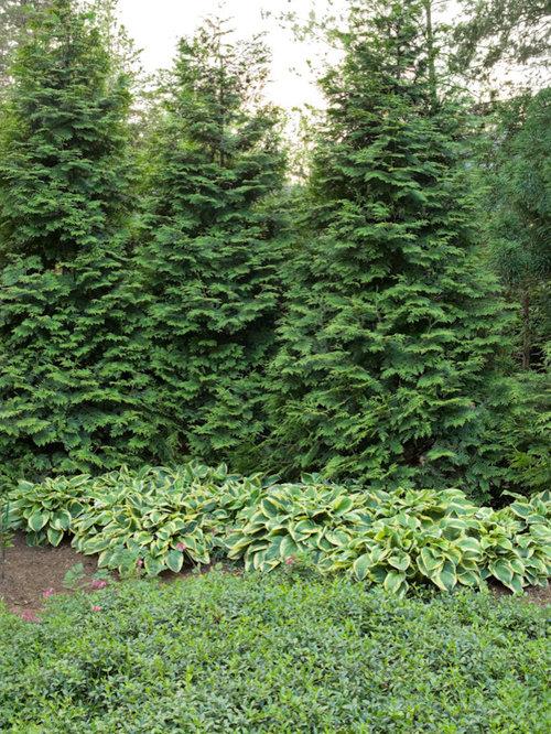 Green giant arborvitae houzz for Arborvitae garden designs