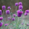 Great Design Plant:  Purple Prairie Clover