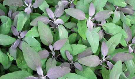 Herb Garden Essentials: Grow Your Own Culinary Sage