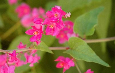Great Design Plant: Antigonon Leptopus in California and Desert Gardens
