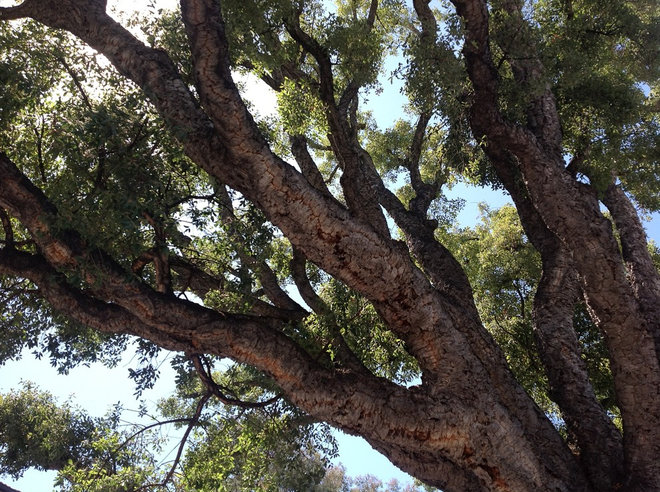 Traditional Landscape Quercus suber