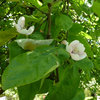 Why Grow Quince? For Beauty, Fragrance and Old-Time Flavor
