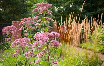 Great Design Plant: Eutrochium Maculatum