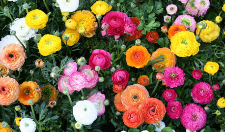 Grow Papery Ranunculus Blooms for Cheery Garden Charm