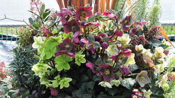 "Recipe for a Fabulous Pot - Hellebores ""Red and Green"""