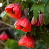 Great Design Plant: Chinese Lantern