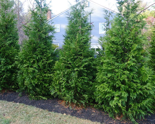Green giant arborvitae houzz for Green giant arborvitae