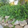 Great Design Plant: Rhus Aromatica 'Gro-Low' Handles Many Tough Sites