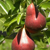 How to Grow Your Own European and Asian Pears