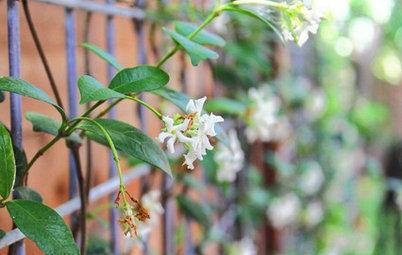 Great Design Plant: Fragrant Trachelospermum Jasminoides