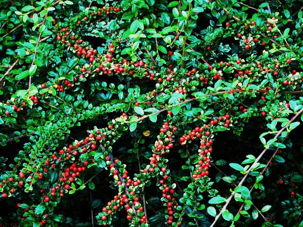 Traditional Landscape Rock Cotoneaster