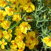 Great Design Plant: Rocky Mountain Zinnia Brightens Hot, Dry Spots