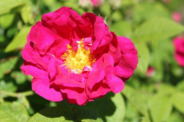 Landscape Rosa Gallica var.Officinalis