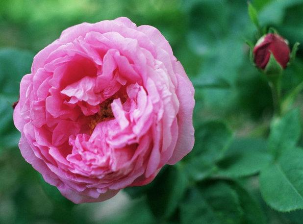 Landscape Rosa 'La Reine'