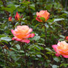 How Are Your Roses Doing? A Complete Summer Guide