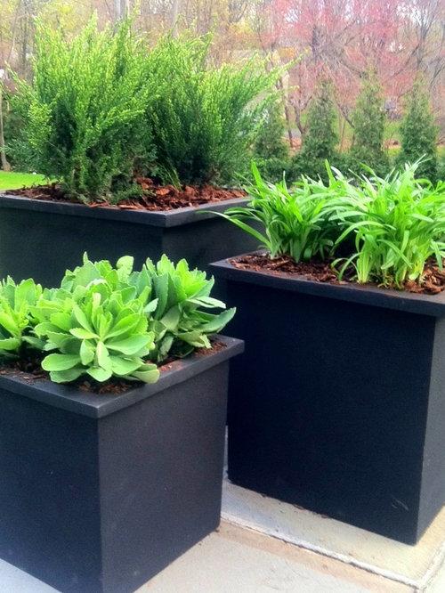 evergreen shrubs houzz. Black Bedroom Furniture Sets. Home Design Ideas