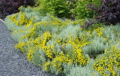 Great Design Plant: Lavender Cotton