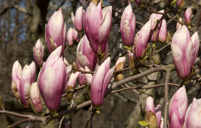 Houzz Call: Show Us Your Beautifully Blooming Magnolias