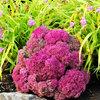 Great Design Plant: Sedum (Stonecrop)