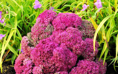 Great Design Plant: Sedum (Stonecrop)