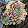Great Design Plant: Hens-and-Chicks
