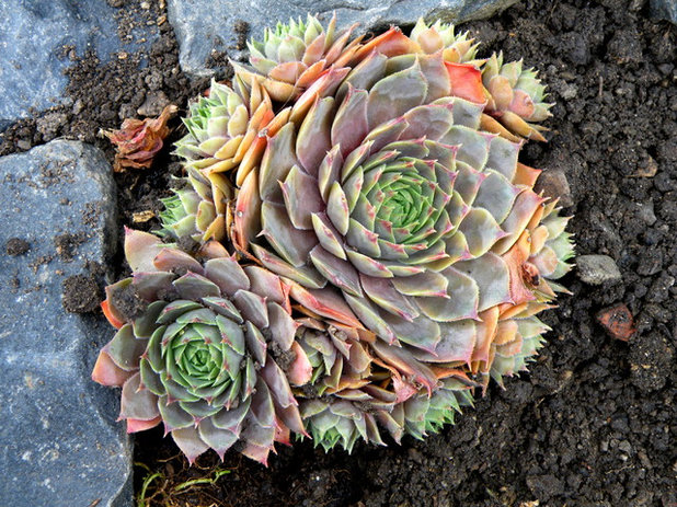 10 cold hardy succulents for cool season interest - Cool succulent plants ...