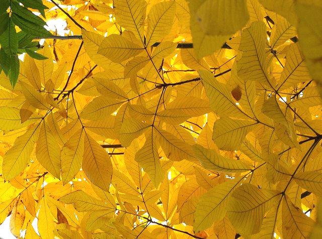 Traditional Landscape Shagbark hickory (Carya ovata)