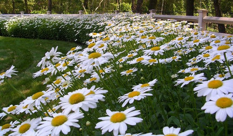Mix or Mass Daisies for Two Great Garden Looks