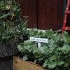 Cool-Season Vegetables: How to Grow Kale