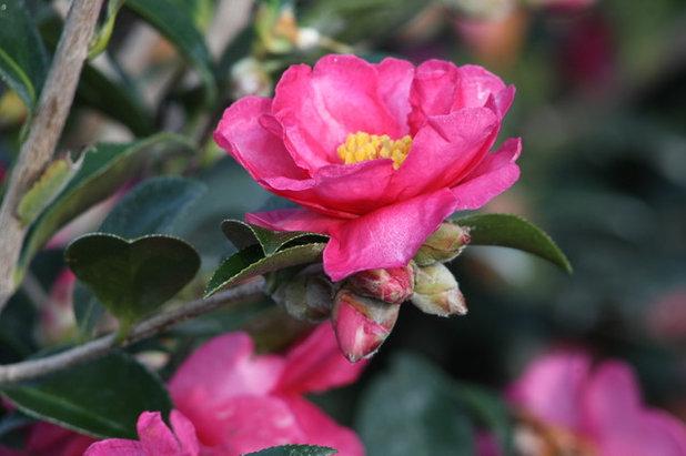 Great Design Plant Sasanqua Camellia
