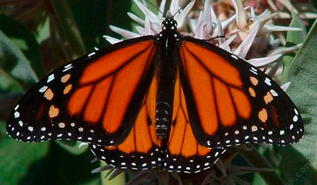 Great Design Plant: Asclepias Is Attractive to Monarch Butterflies